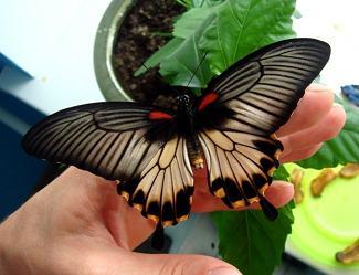 Живая бабочка Lovi на руке.